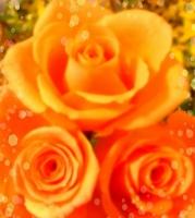 オレンジの薔薇__水がめ.JPG