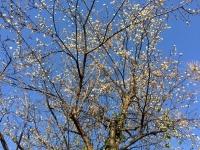山羊座・梅の花.jpg
