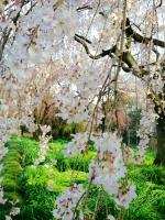 御苑・桜.jpg