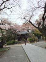 法明寺の桜.jpg