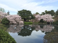 新宿御苑 桜2.jpg
