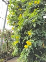温室 黄色.jpg